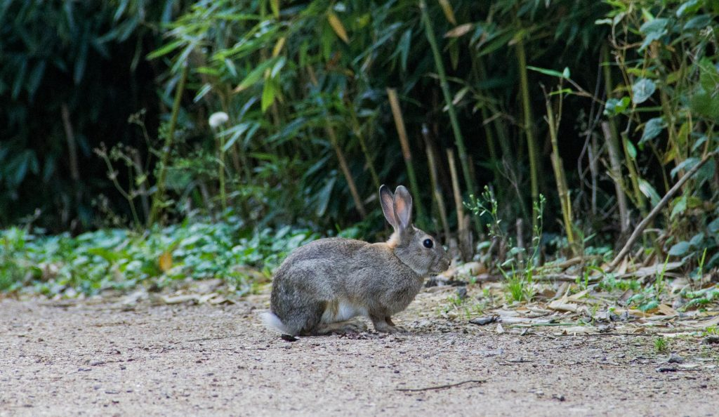 Do female rabbits hump