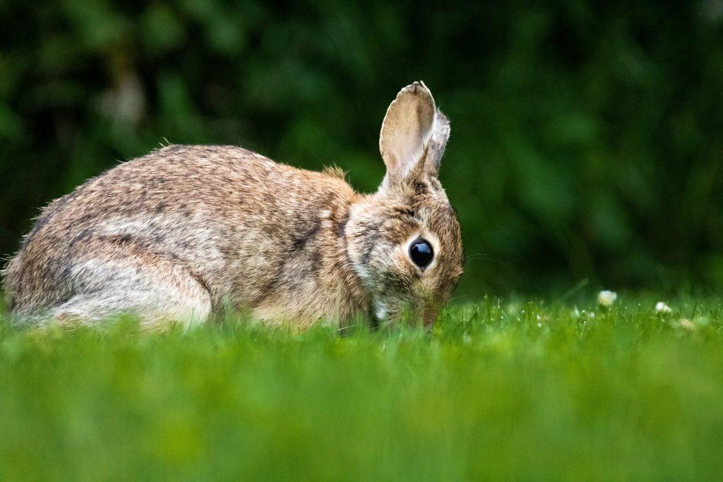 Can rabbits eat quaker oats