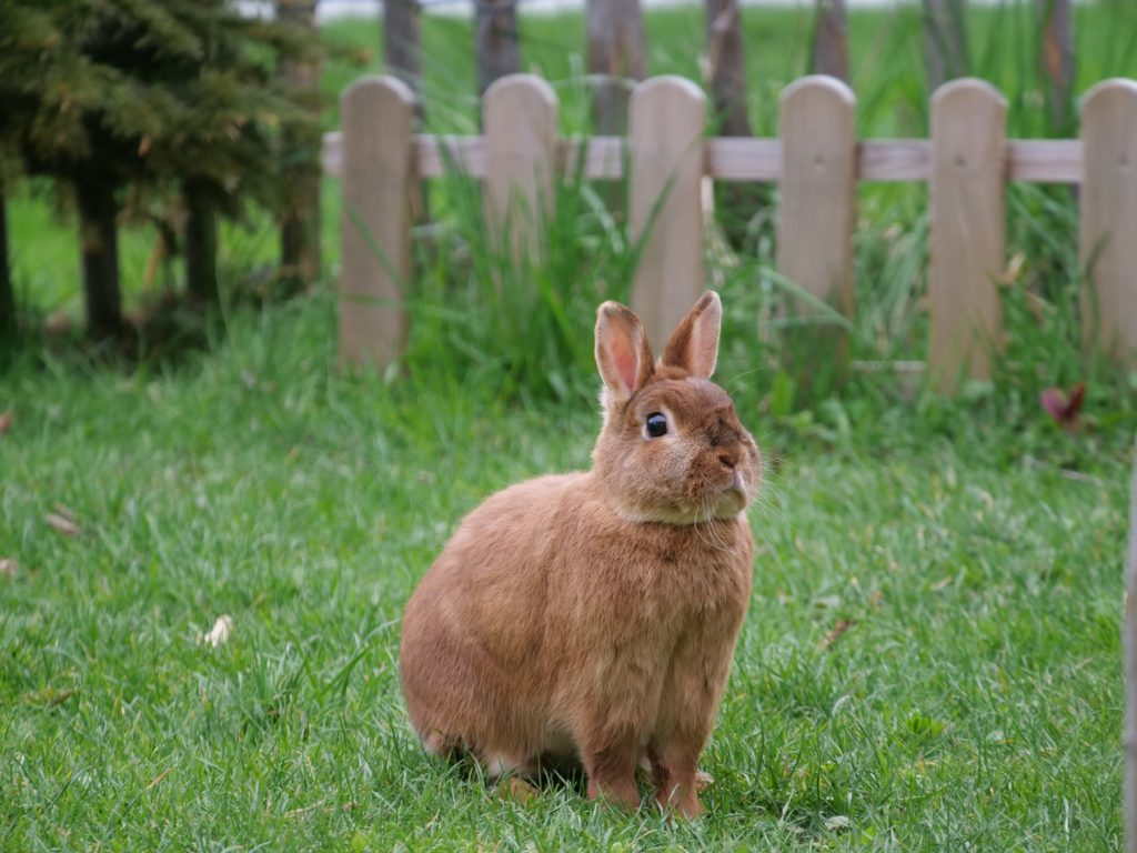 Can rabbits jump over fences