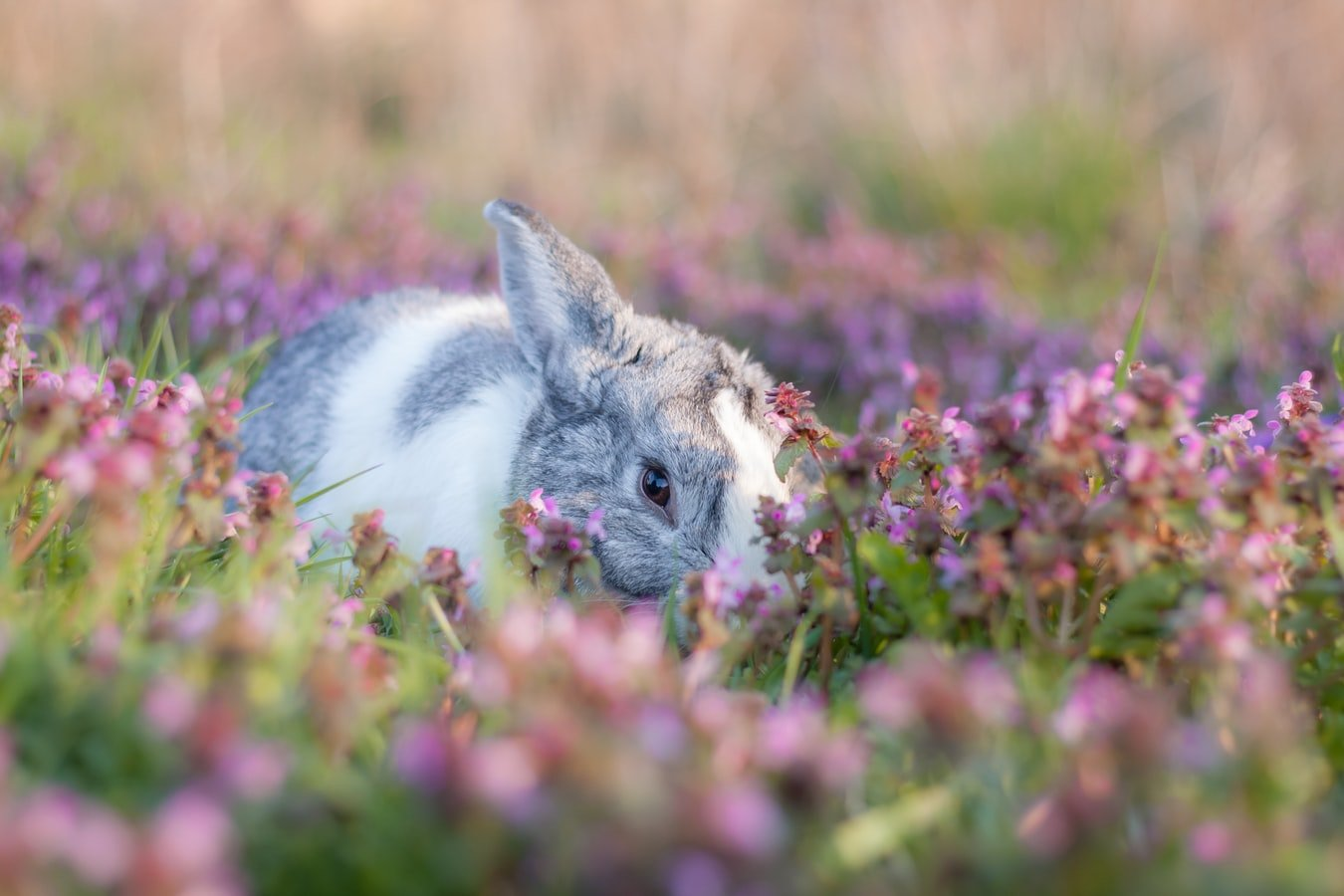 rabbit lying on side not moving