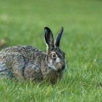 Can Rabbits Eat Violets?