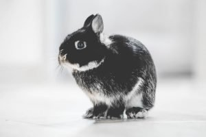 Do male rabbits spray after neutering