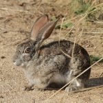 Can Rabbits Give Birth Days Apart? (And Why!)