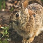 Do Wild Rabbits Have Fleas? (And Why!)