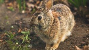Do wild rabbits have fleas