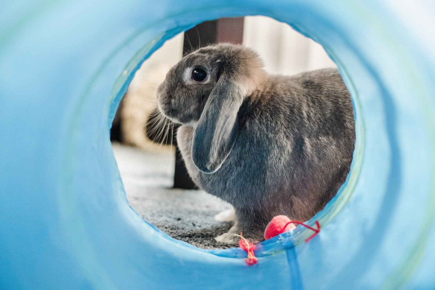 best rabbit cage for Holland Lop