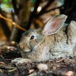 Can Rabbits Eat Tea Bags?