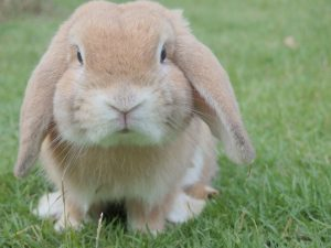 Why do male rabbits fall over after mating