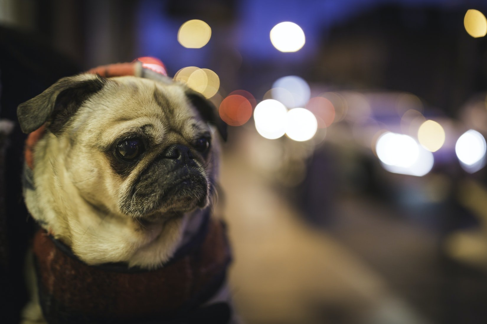 can pugs survive in the wild