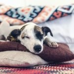 Why Does My Dog Pee On His Blanket? (And How To Stop It!)