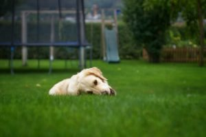 can dogs be allergic to artificial grass