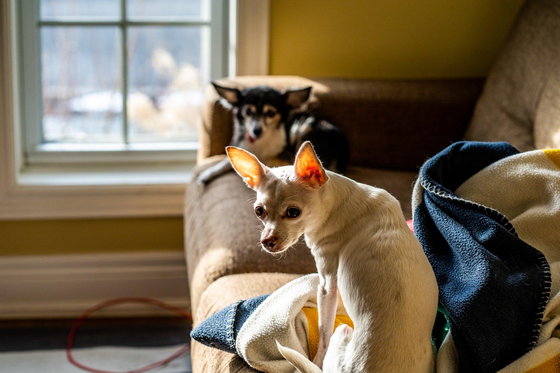 Why do female dogs chew underwear