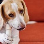 Why Does My Dog Bark At His Bone?
