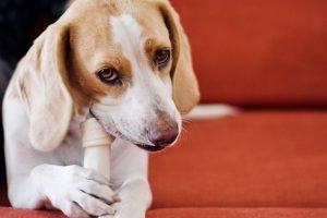 why does my dog bark at his bone