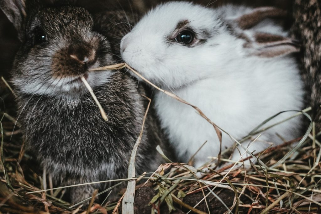 Is cedar safe for rabbits to chew