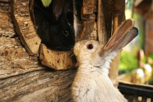 How do I know if my rabbits are mating