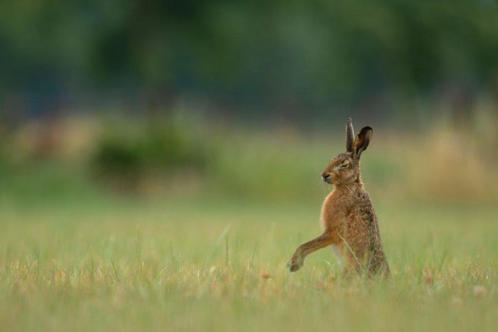 Do female rabbits bleed when in heat