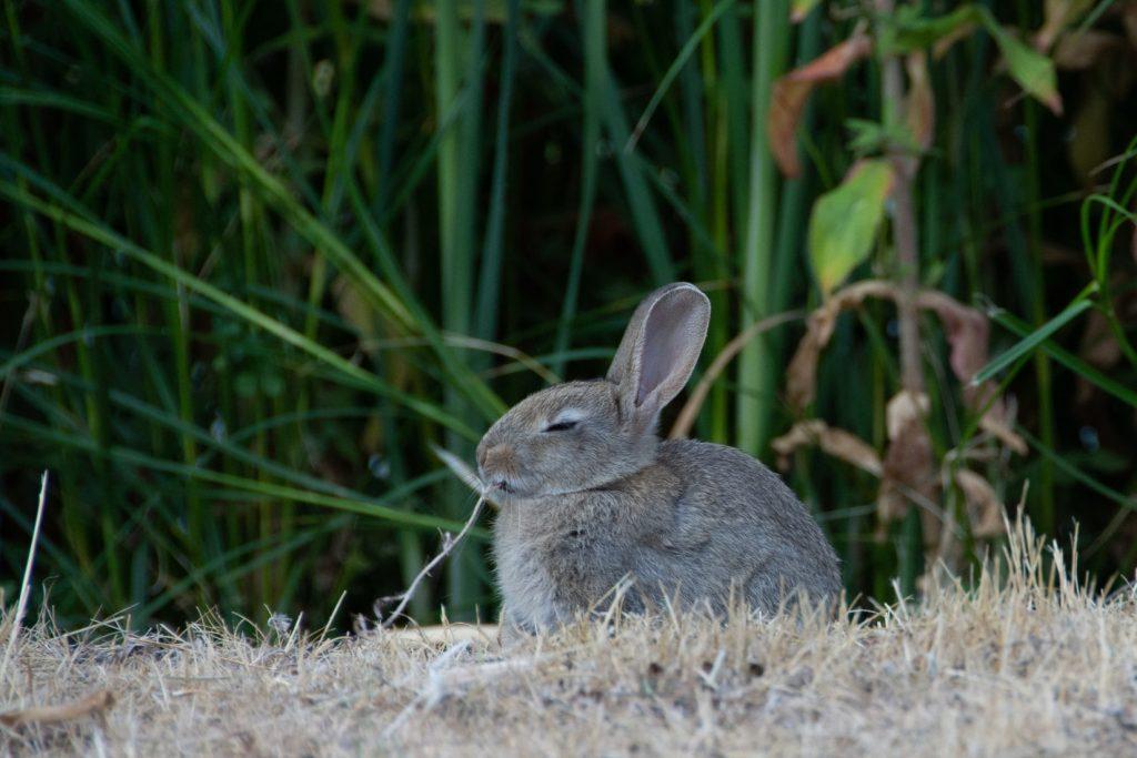 Can rabbits eat lemon balm
