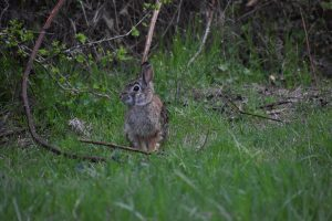Can rabbits eat rye grass