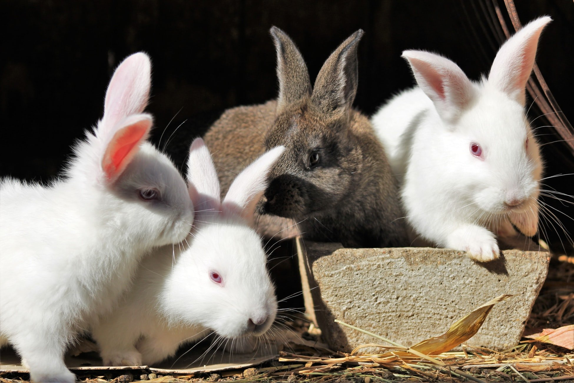 how to stop male rabbits mounting