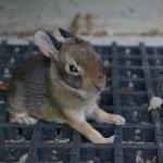 Do Female Rabbits Bleed When In Heat?