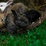 Do Rabbits Make Noise When Giving Birth? (And Which One!)