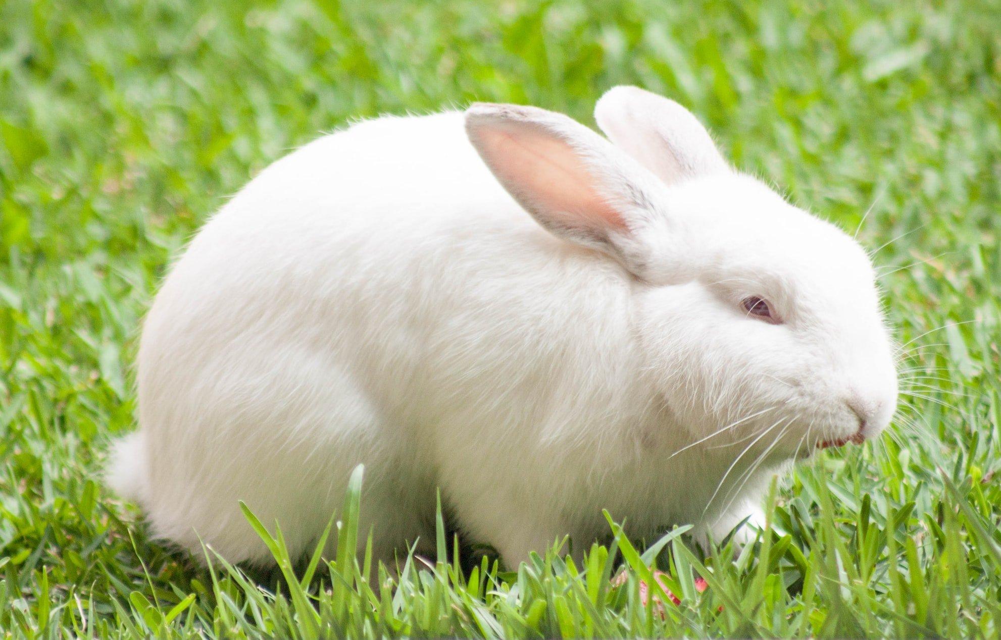 Why does my rabbit headbutt me