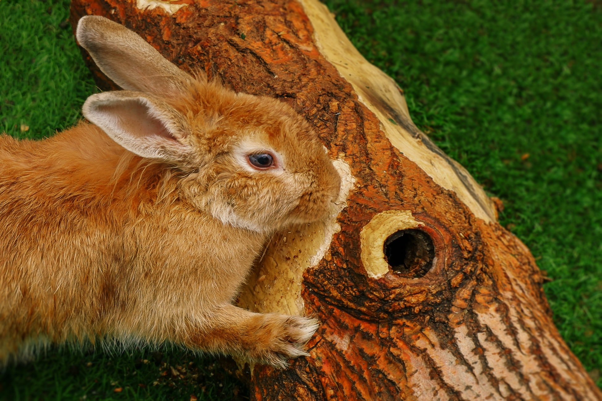 how much scratching is normal for a rabbit