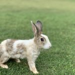 Can You Litter Train an Unspayed Rabbit? (And How!)