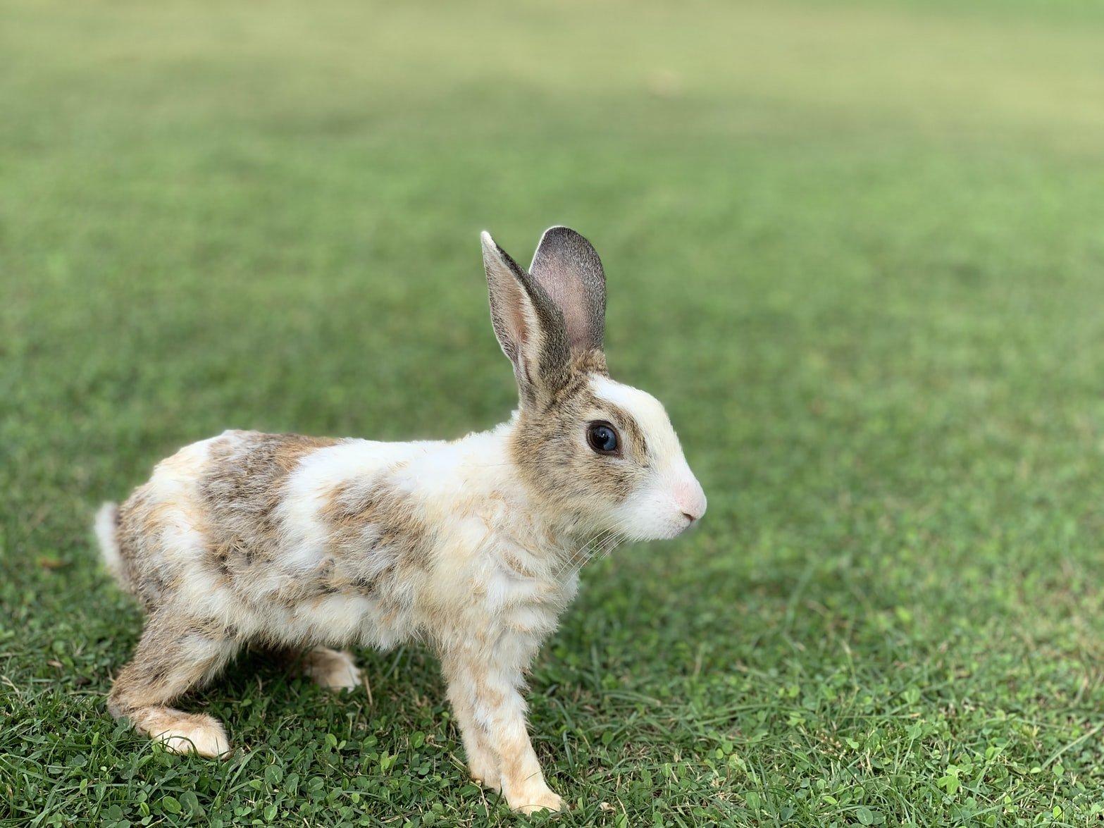 can you litter train an unspayed rabbit