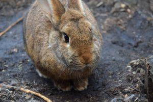 Can rabbits eat radicchio
