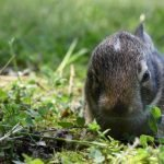 When Do Pregnant Rabbits Start Nesting? (And How!)