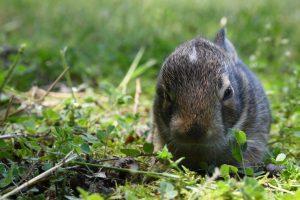 when do pregnant rabbits start nesting