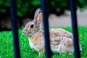 Can rabbits eat lambs lettuce