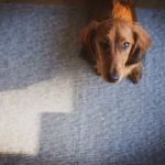 Can Dogs Smell Chemotherapy? (And Signs To Look For!)
