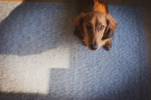 can dogs smell chemotherapy