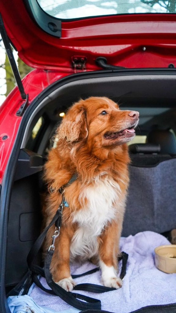 how to secure a dog in the boot