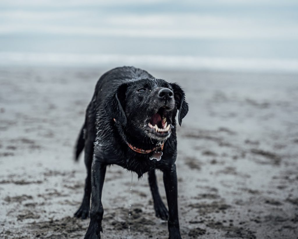 Will an untrained dog protect its owner