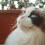 When To Put A Cat To Sleep With Hyperthyroidism?