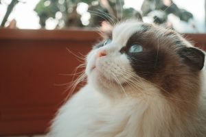 when to put a cat to sleep with hyperthyroidism