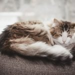 Why Do Cats Clean Themselves Before They Sleep?