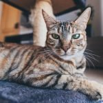 Is It Cat Dandruff Or Flea Eggs? (And What To Look For!)