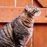 How To Train An Outdoor Cat To Stay Home (And What Works Best!)