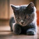 How High Can A Kitten Jump?