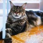 Do Cats Think In Meows? (Explained)