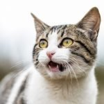 My Cat's Meow Is Weak And Raspy! (Learn Why!)