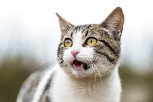 My cat's meow is weak and raspy