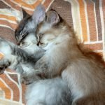 Can Kittens In The Same Litter Be Different Ages? (Solved)
