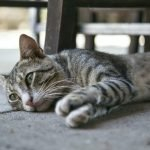 Do Cats Get Depressed After Abortion? (Explained)