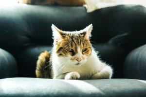 how far do neutered cats roam